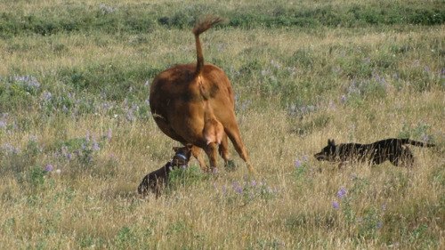 Pistol and Hank convince  reluctant cow to get going.