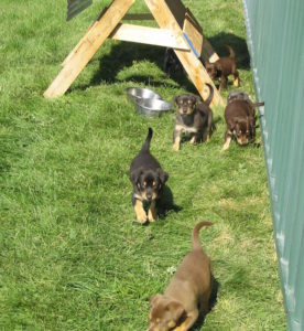 Ringer puppies 2005 006