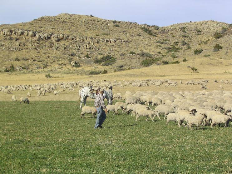 Burradoo Ranch Van Fleet sheep 102007 001