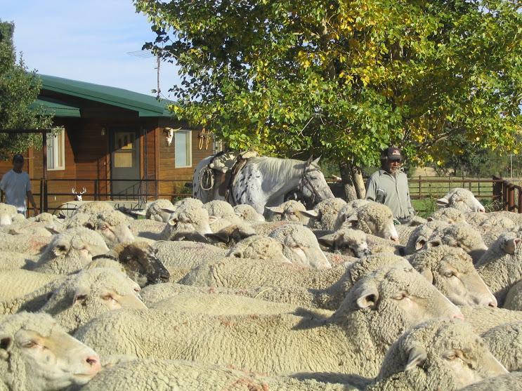 Burradoo Ranch Van Fleet sheep 102007 006