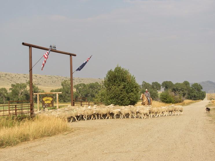 Sheep moves 2013 057