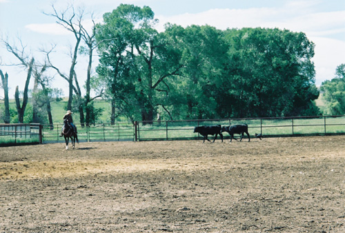 Bill working cattle with Riana Battle in the pens from horseback.